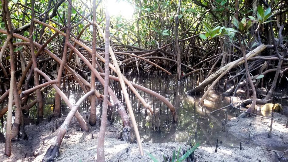Mangrove Mangrove Forest Mangrove Plant Nature Photography Nature