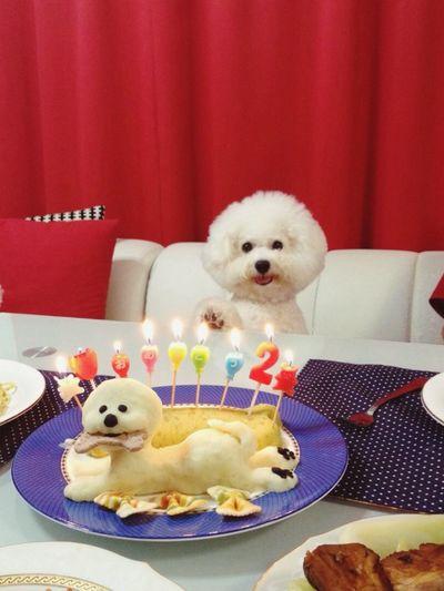 Ilovemydog Bichonfrise Ichigo 2nd Birthday Today HappyBirthday to my Angel ? Sweetpotato Cake ???