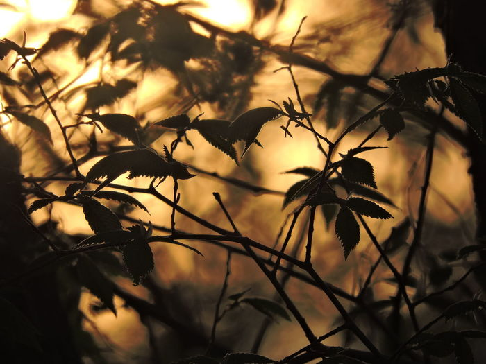 Golden Color Plant Silhouette Beauty In Nature Nature No People Growth Sky Branch Leaf Plant Part Tranquility Sunset Focus On Foreground Tree Outdoors Selective Focus Close-up Low Angle View Scenics - Nature Sunlight Leaves