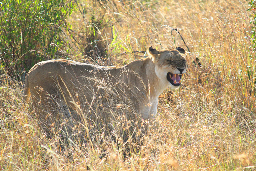 African Beauty African Landscape Beautiful Lion Color Palette Grassy Kenya Lioness Mammal No People One Animal Rickeherbertphotography