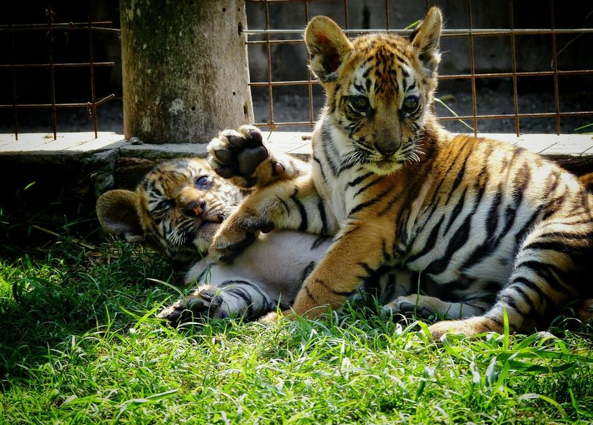Brotherhood. Animal Themes Grass Day Outdoors Togetherness Animals Felines Relaxation Mammal Tigers Little Tigers Brothers Brotherly Love Kitty Cat Kitty Love Cats Eyes Sunny Day 🌞 Animal Print ❤ Zoo Animals  Lujan, Argentina The City Light