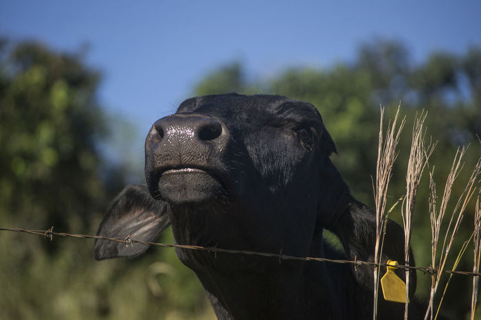 Cow Animal Body Part Animal Head  Animals In The Wild Black Color Close-up Cow Day Farm Focus On Foreground Mammal Nature No People Outdoors Selective Focus