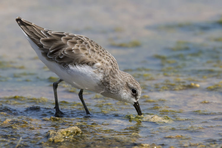 Little Stint Animal Wildlife Water One Animal Animals In The Wild Bird No People Close-up Animal Outdoors Nature Sea Life Sea Day Beauty In Nature Bird Photos Birds🐦⛅ Beak Feather  Beach Portrait Feather  Reflection