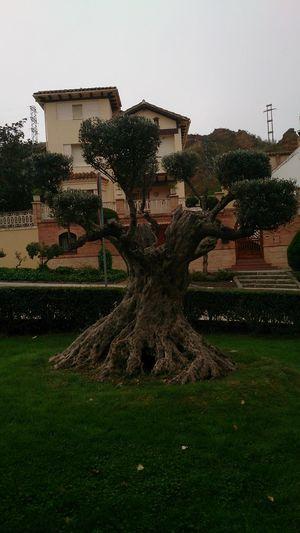 Un árbol muy Bonito que hay a la entrada del Pueblo de Daroca