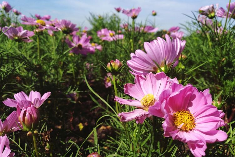 Flower Pink Color Purple Nature Outdoors Summer Plant Beauty In Nature No People Day Flower Head Growth Close-up Fragility Grass Freshness Sky