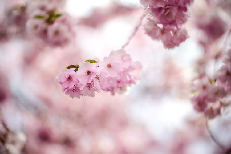 Cherry Beauty In Nature Blossom Bunch Of Flowers Cherry Blossom Cherry Tree Flower Flower Head Flowers Freshness Growth Nature Outdoors Pink Color Springtime Tree