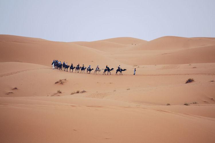 Going home Morocco Sahara Desert Travel Traveling Arid Climate Beauty In Nature Camel Camels Caravan Clear Sky Day Desert Group Landscape Merzouga Nature Outdoors Riding Sahara Sand Sand Dune Scenics Sky Tourism Travel Destinations The Traveler - 2018 EyeEm Awards