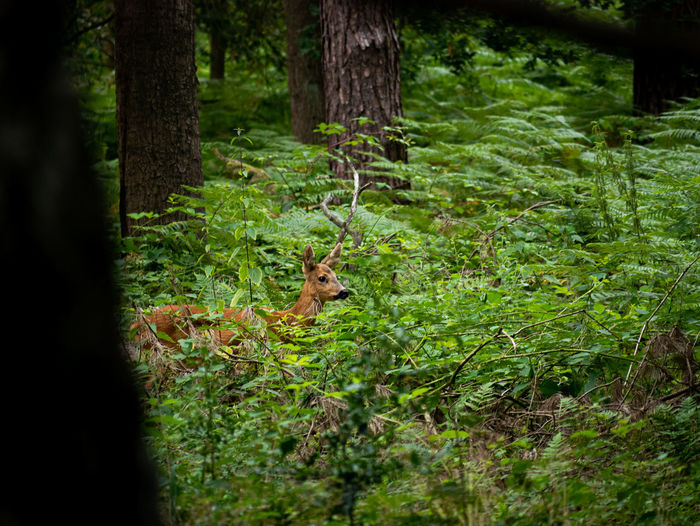 Red deer in the