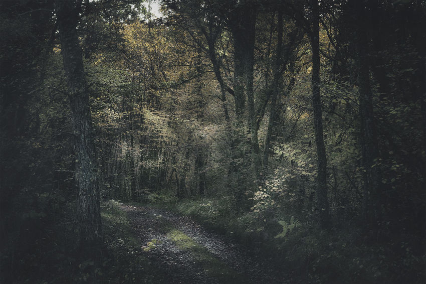 Forest Tree Plant Land No People Tranquility Nature Beauty In Nature WoodLand Non-urban Scene Tranquil Scene Growth Direction Day Trunk Tree Trunk The Way Forward Outdoors Footpath Scenics - Nature