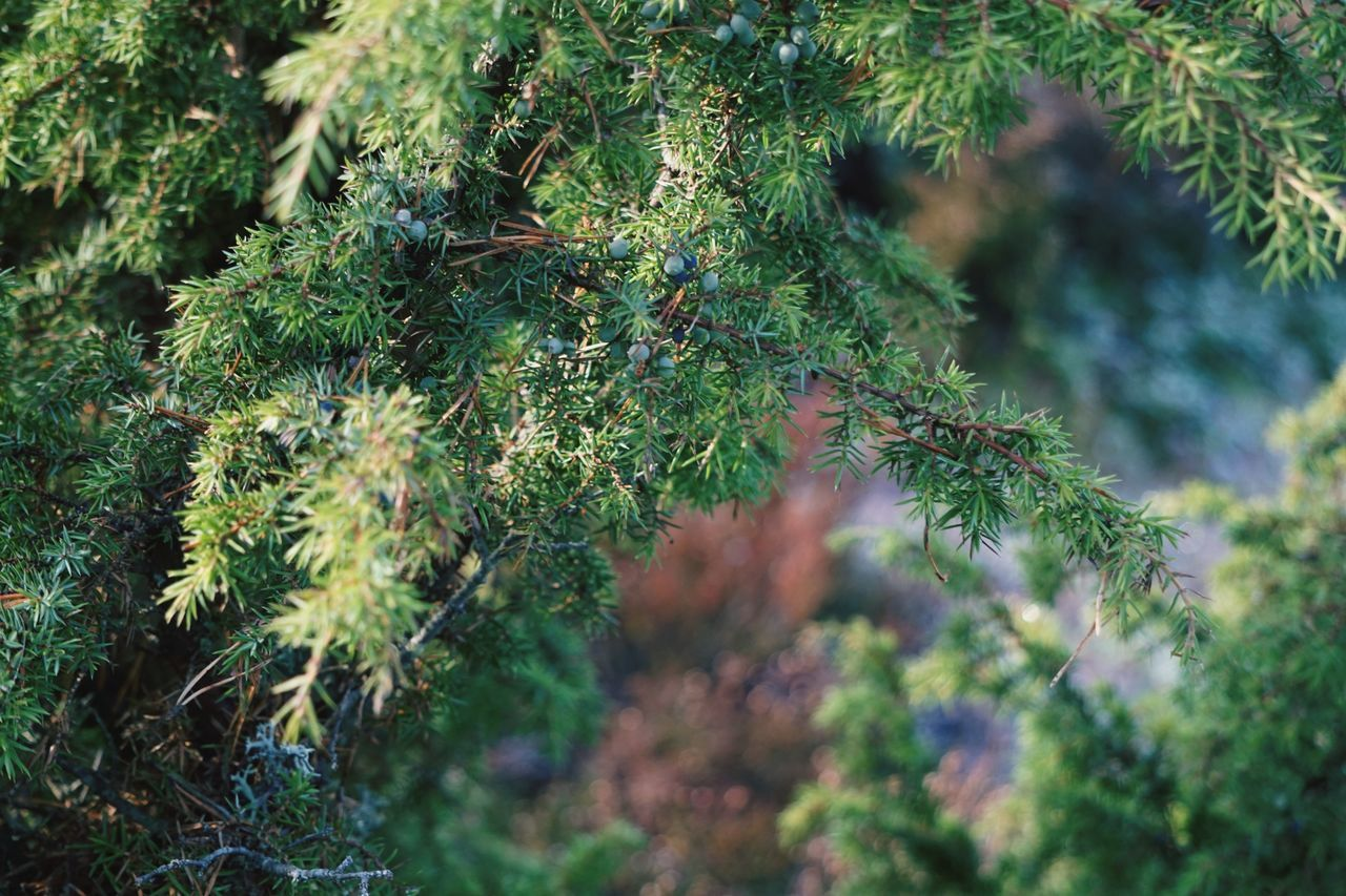 plant, growth, green color, selective focus, no people, beauty in nature, tree, day, nature, close-up, tranquility, outdoors, moss, leaf, coniferous tree, plant part, land, forest, pine tree, branch, needle - plant part, fir tree, lichen, spiky