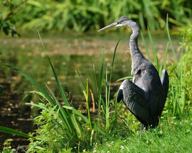 Heron, standing