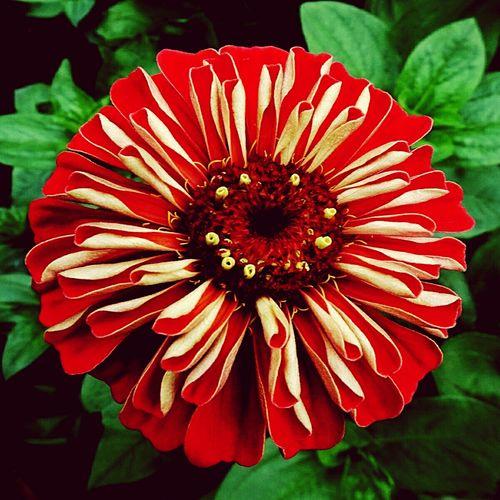 It looks like fireworks… Astor Like Fireworks Flower Head Flower Red Petal Pollen Close-up Blooming Passion Flower