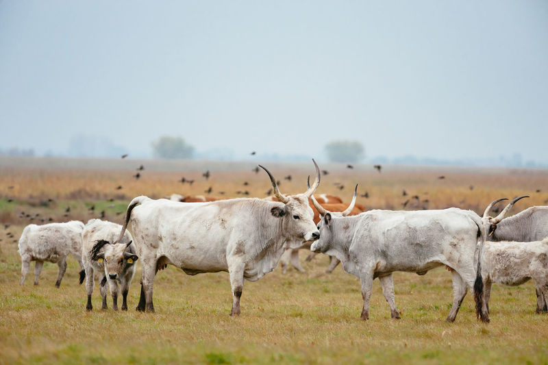 Cows standing on grassy field against clear sky