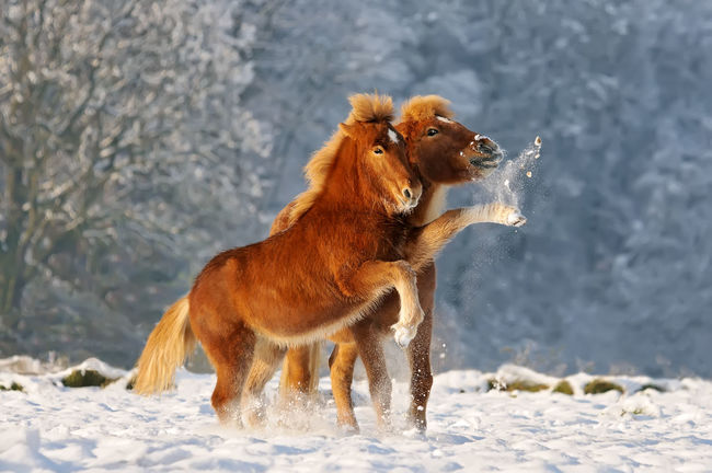 Two Icelandic horses, a foal and its mommy playing snowball fight in a snowy winter landscape, Germany Fun Funny Horses Icelandic Horses Isis😍 Ponies Pony Action Animal Themes Cold Temperature Domestic Animals Foal Foal And Mare Frolicking Icelandic Mammal Mom Outdoors Playing Rearing Snow Winter Shades Of Winter