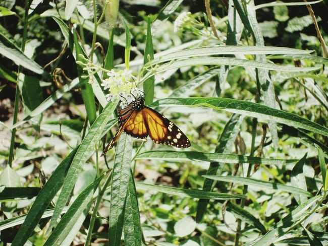 Mariposas Monarcas Dominican Republic