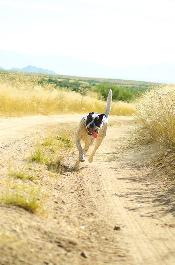 Desert Happy Dog Plant Running Animal Themes Clear Sky Countryside Day Dog Domestic Animals Grass Mammal Nature No People One Animal Outdoors Pets Sand Sky