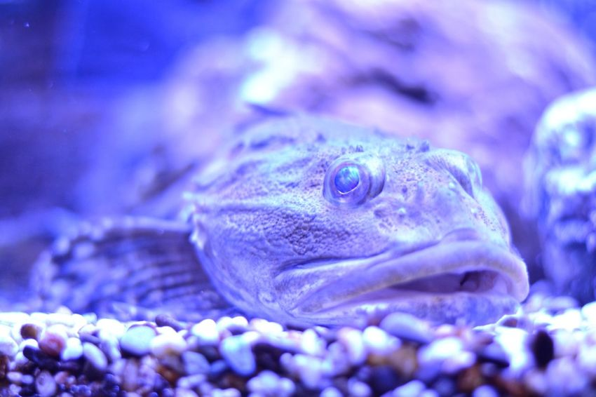 Blue Close-up One Animal Animal HEAD Reptile Animal Eye Nature Animal Themes No People Outdoors Chameleon Day