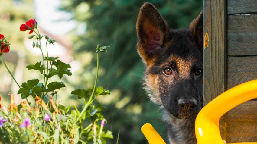 German shepherd puppy discovers the yard. Close-up Curiosity Day Dog Dogs Domestic Animals Flower Flowers German Shepherd German Shepherd Dog  German Shepherd Puppy GSD Gsdpuppy Nature Pets Portrait