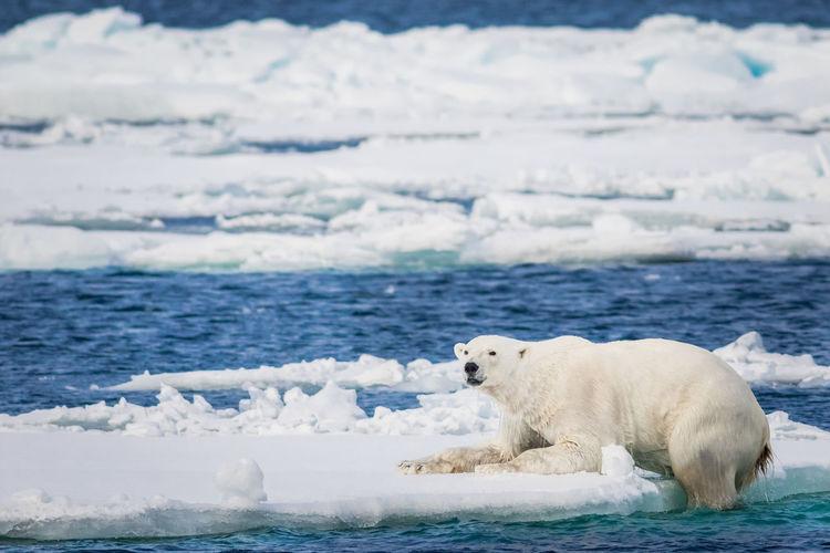Polar Bear Amidst Sea On Ice