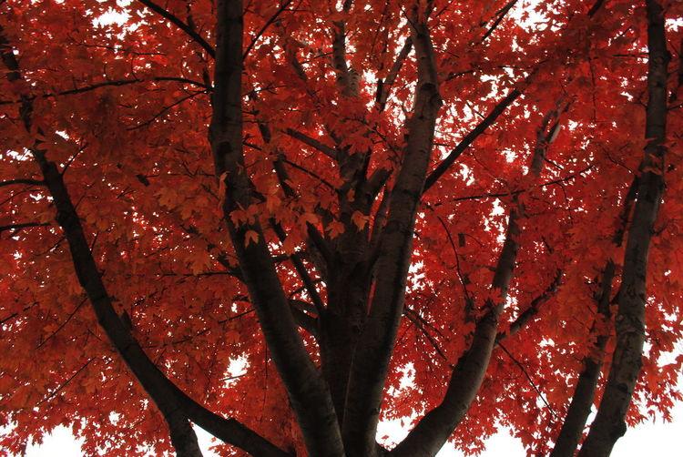 Phawl Tree