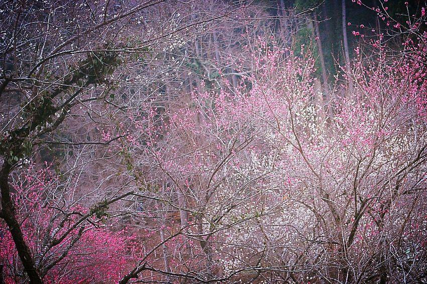 春霞 Showcase: February EyeEm Nature Lover Blossom Colors 梅 Japan Bokeheffect Taking Photos Plum Fleshyplants Flower Collection Relaxing Trees Treescape