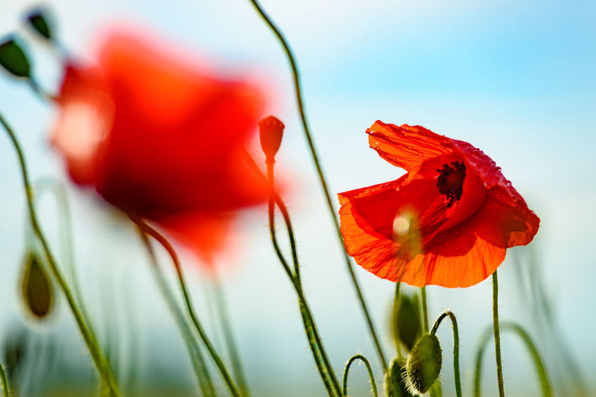 Blu Sky With Cloud Green Color Green Grass 🌱 No People Poppies  Red Color Red Flowers Spring Time 🌻 Sunlight