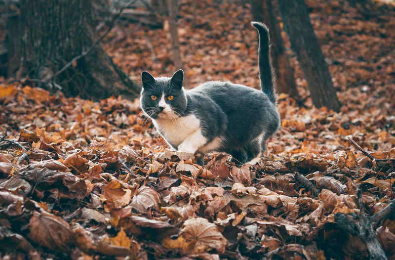 Full length of a cat on dry leaves