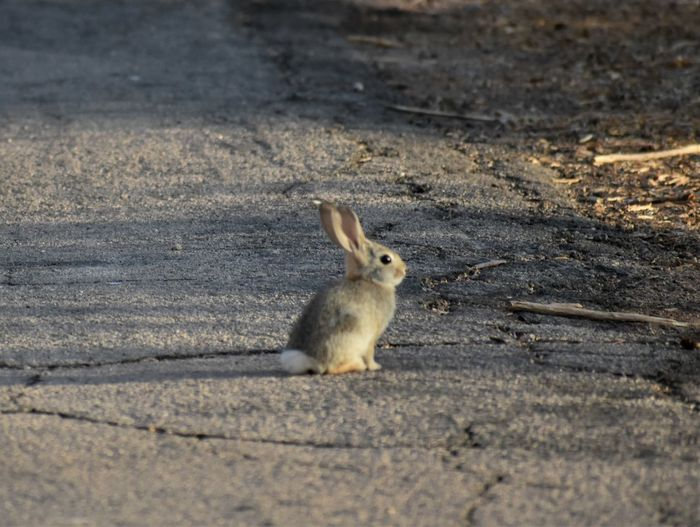 Side view of rabbit on road