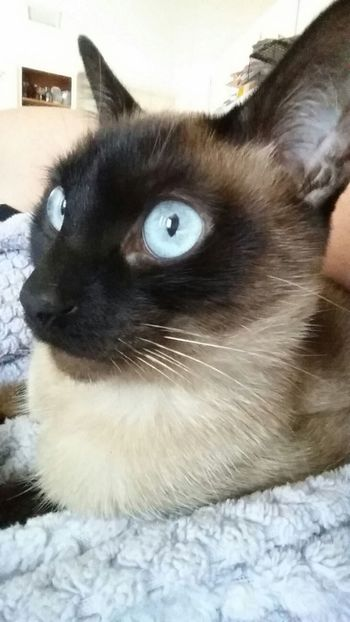 Catlovers , Catlover , Pets Pets Corner Nooni Check This Out Animal Themes Domestic Animals Check Me Out Feline Close-up Cats Of EyeEm Kittylove No People One Animal Domestic Cat Kitty Stare Animal Eye