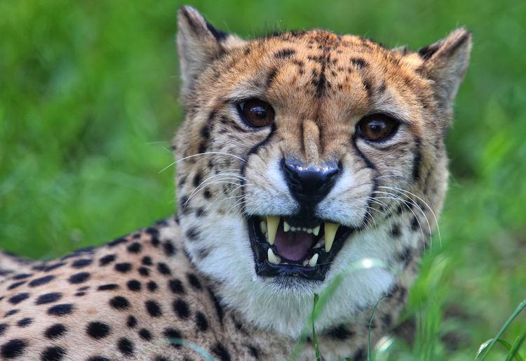 Close-Up Portrait Of Cheetah