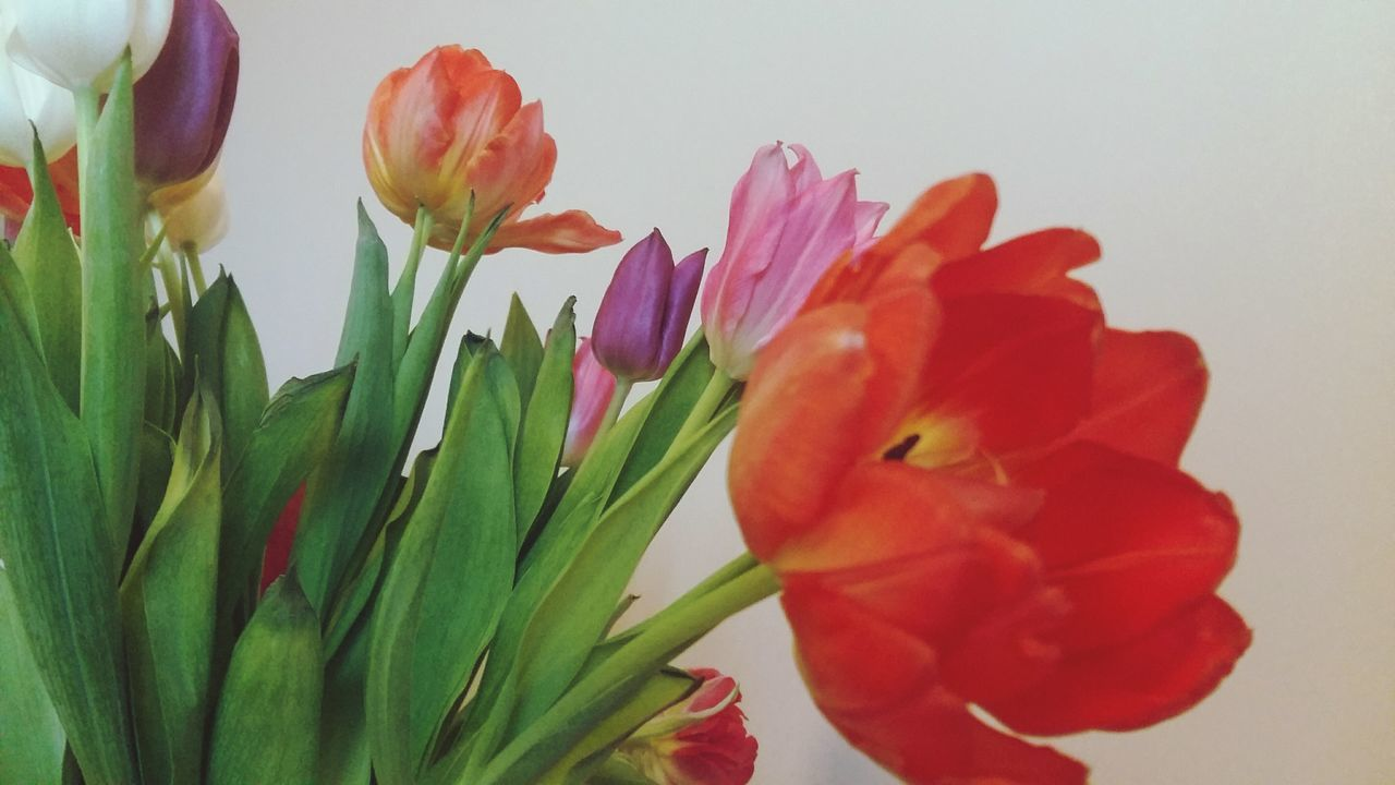 flower, beauty in nature, fragility, petal, nature, freshness, growth, tulip, plant, no people, flower head, close-up, day, outdoors