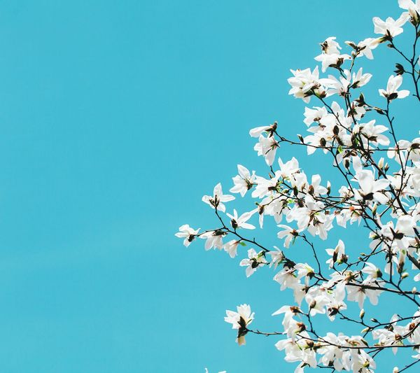 Low Angle View Of Magnolia Blossoms Against Clear Blue Sky