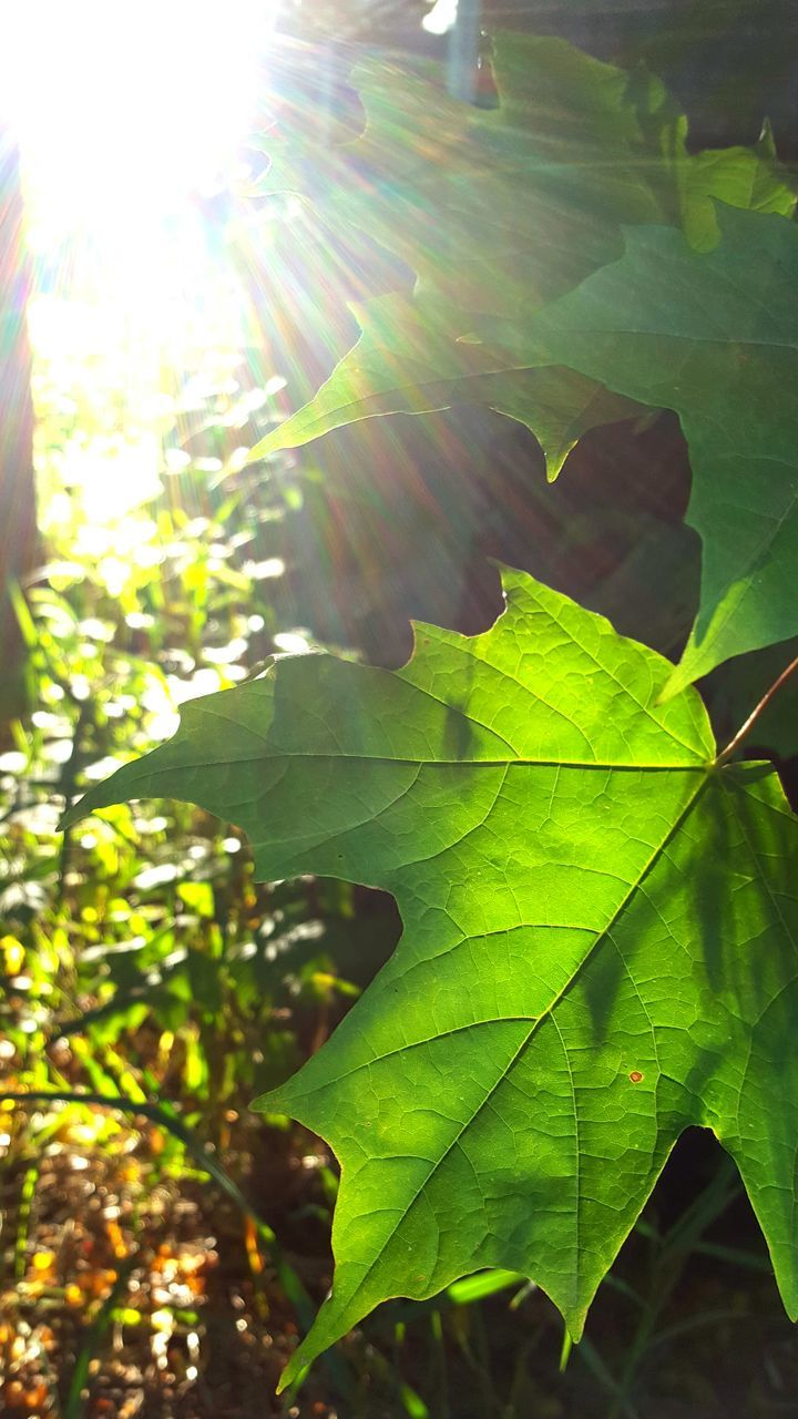 leaf, growth, nature, bright, green color, plant, sunlight, day, no people, close-up, outdoors, tree, fragility, beauty in nature, freshness