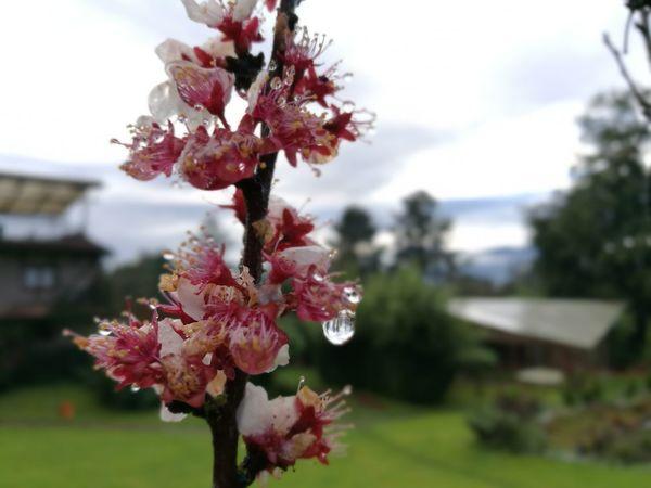 Amanecer en Zacatlán Ciruelo Zacatlán  Flor Flower Head Tree Flower Springtime Branch Red Blossom Pink Color Close-up Sky