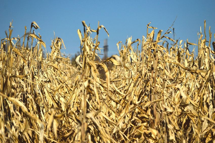 Rows tall in early fall Cornfield Focus On Foreground Blurred Background Eye Level View Sunshine Shadow Outdoors Clear Sky Agriculture Rural Scene Crop  Close-up