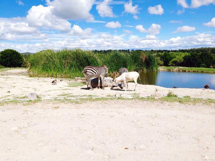 Animals Next To Lake