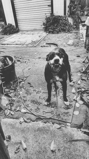 Pitbull Lover Pitbulllover Pitbull♥ Pitbull Love Pitbull Dog Love Dog Dogs Of EyeEm Animal Animal_collection Animal Photography Animal Themes High Contrast Bnw Junkyarddog