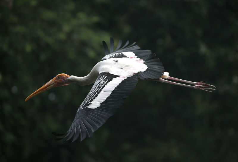 Animal Animal Themes Animal Wildlife Animal Wing Animals In The Wild Beak Bird Day Flying Focus On Foreground Mid-air Motion Nature No People One Animal Outdoors Pelican Spread Wings Stork Vertebrate