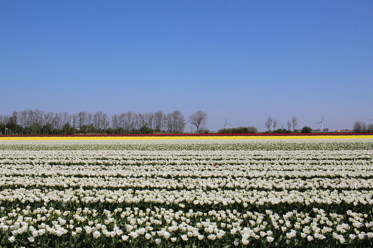 Scenic view of flowering field against clear sky