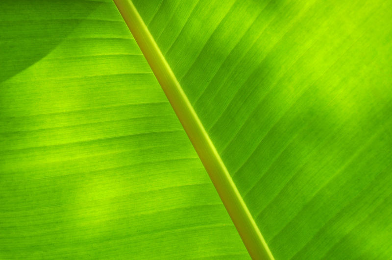 Banana leaf texture close up. selected focus Green Color Leaf Plant Part Plant Beauty In Nature Growth Nature No People Backgrounds Close-up Full Frame Day Freshness Leaf Vein Palm Leaf Outdoors Natural Pattern Banana Leaf Vulnerability  Fragility Leaves Blade Of Grass Environment Banana Traditional Food Indian Food Environmental Conservation Recycle Sustainable Resources Textured  Pattern