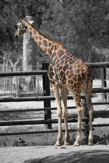 my first photoshop tryout. Black&white Colour Animal Themes Animal Wildlife Animals In The Wild Close-up Day Full Length Giraffe Mammal Nature No People One Animal Outdoors Safari Animals Standing