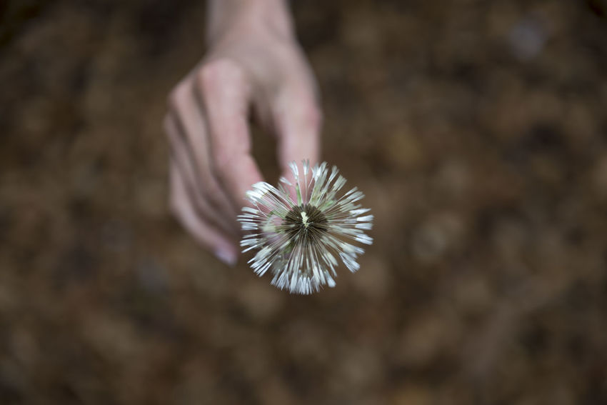Woman hand holding a daisy seed flower Beauty In Nature Careful Close-up Color Daisy Day Delicate Environmental Issues Flower Flower Seed Focus On Foreground Freshness Full Frame Human Body Part Human Hand Human Limb Nature One Person Outdoors People Seed Tranquility Woman