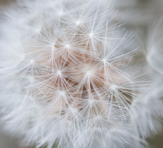 Beauty In Nature Close-up Dandelion Dandelion Seed Day Flower Flower Head Flowering Plant Focus On Foreground Fragility Freshness Growth Inflorescence Nature No People Plant Softness Vulnerability  White Color