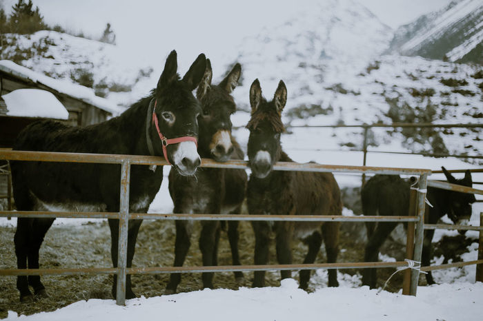 Mountain Donkeys Animal Themes Animals Beauty In Nature Cold Temperature Day Domestic Animals Donkey Field Livestock Mammal Mountain Animal Nature No People Outdoors Sky Snow Two Animals Weather White Color Winter