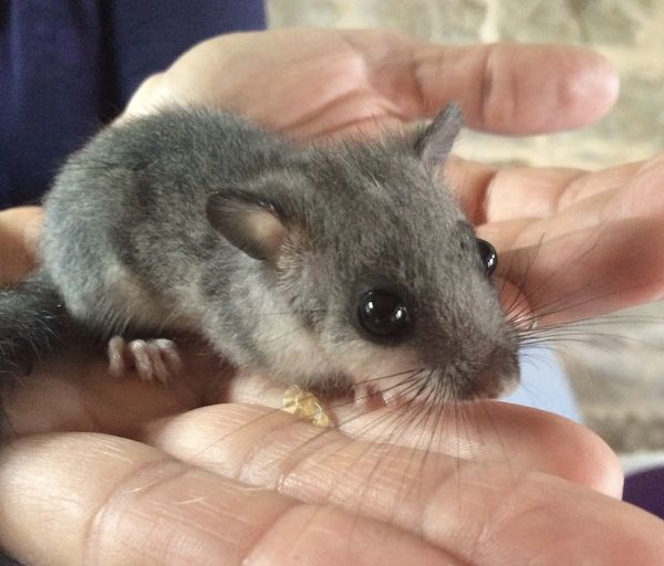 Baby dormouse rescued Beady Eye Close-up Cute Dormouse Mammal Nocturnal Animal One Animal Young Animal
