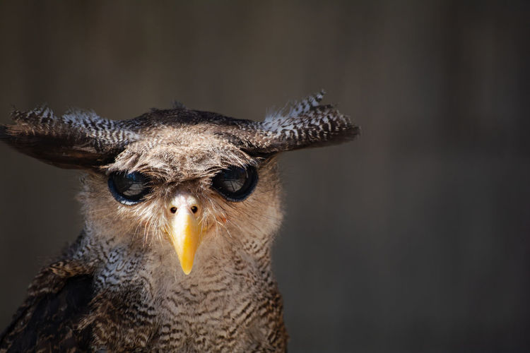 Animal Themes One Animal Animal Animal Wildlife Animals In The Wild Portrait Vertebrate Close-up Animal Body Part Bird Of Prey No People Bird Nature Focus On Foreground Animal Head  Looking At Camera Mammal Day Outdoors Looking Animal Eye Aggression  Owl