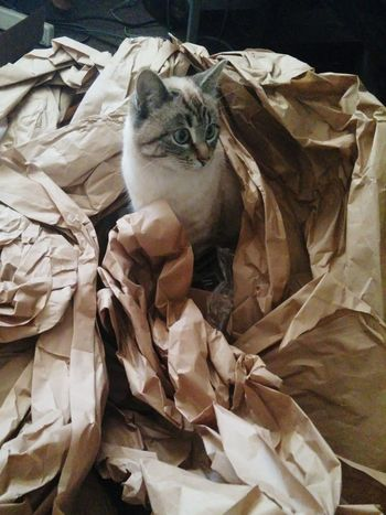 Cat in Brown Paper Animal Themes No People Crumpled Mammal Domestic Animals Indoors  Nature Close-up Day Crumpled Paper Playful Cat