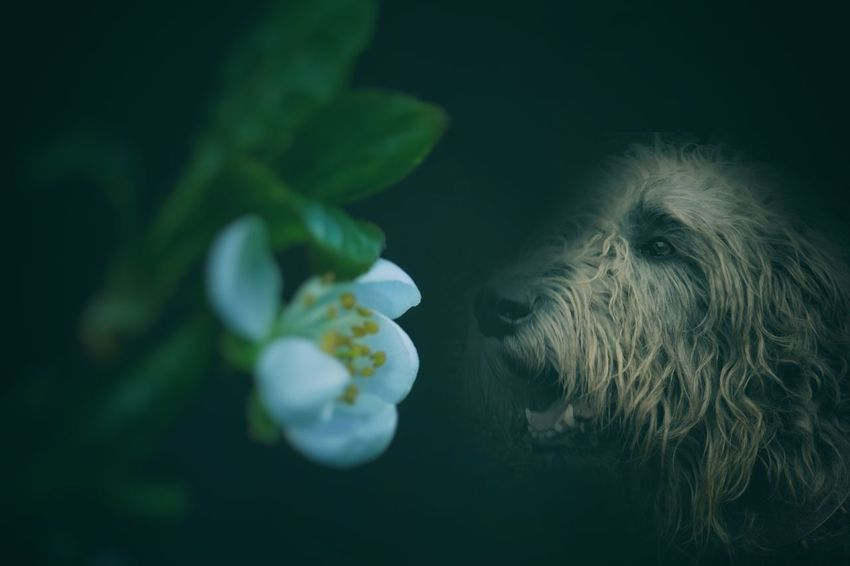 One Animal Black Background Close-up Animal Themes No People Nature Irish Wolf Hounds. Willi The Wolfhound Gentle Giant. Irishwolfhound Irish Wolfhound Hello World Have A Nice Day♥ Plant Green Color Flower Head