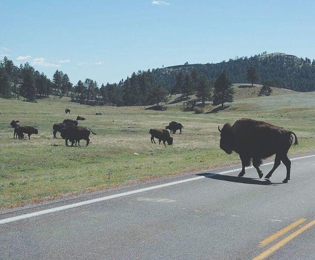 Cows walking on road