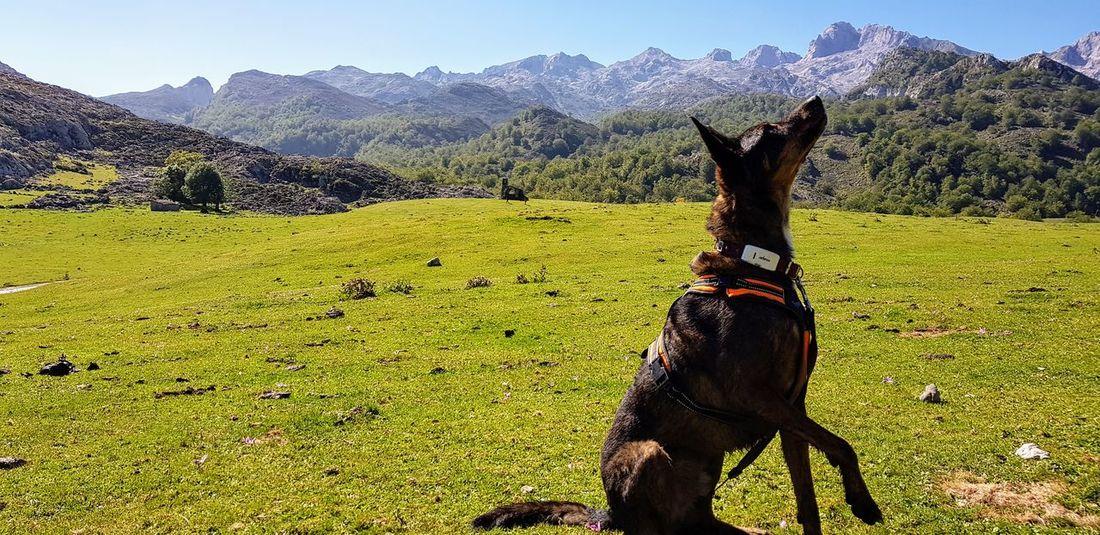 Dog mountain green grass picos europa covadonga asturias Pet Portraits